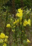 Evening primrose by the Severn