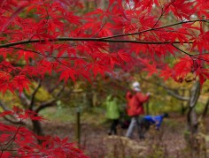 Red leaves and dog-walkers