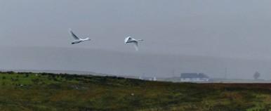 Loch Mealt swans