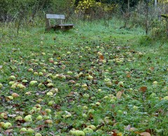 Windfalls in the old orchard
