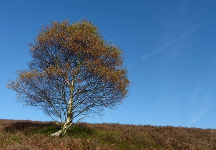 Birch and contrail