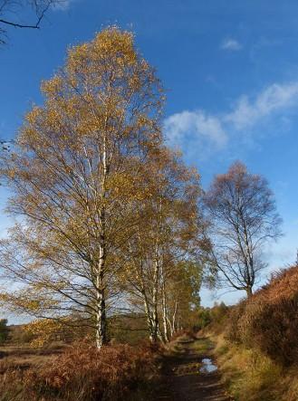Birch beside the Sher Brook