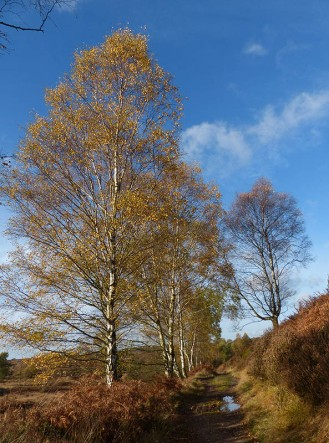 Birch beside the Sher Brook