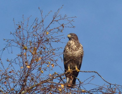 Tree-top buzzard