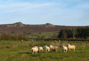 After the mud: sheep and Stiperstones