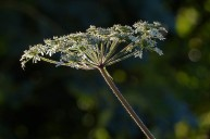 Cow parsley catching the light