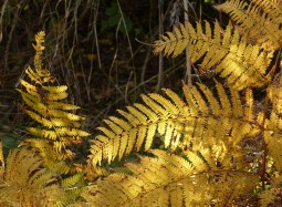 Golden bracken