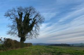 Wenlock tree