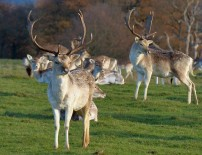 Attingham deer