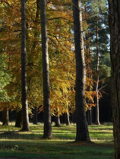 Beech and pine