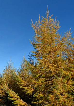 The larch is colourful too