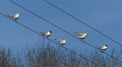 Gulls on the wires