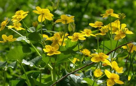 Marsh marigold