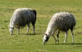 ...and Llamas