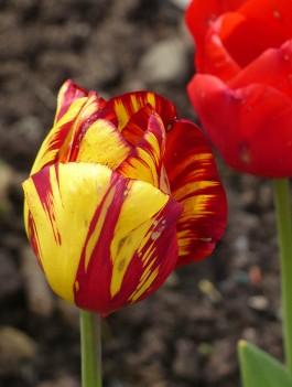 Tulips (3)