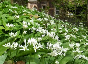 Wild garlic at the old station