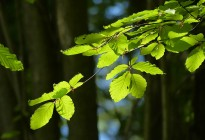 New leaves in the beech woods