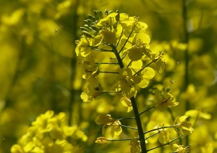 Oilseed rape...