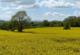 ...bright yellow in the fields