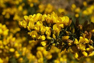 Of course, it's gorse