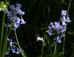 Tatty bluebells