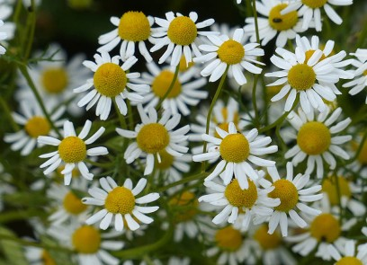 Daisies by the dozen