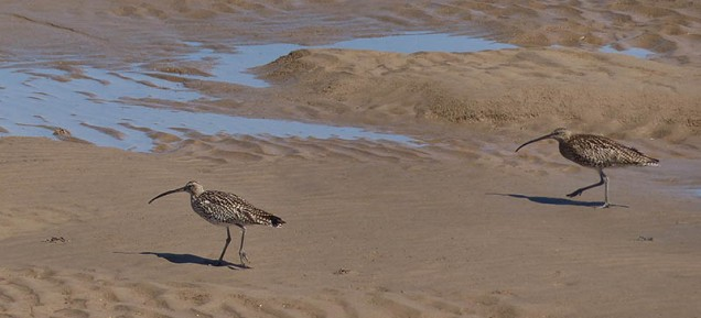 Curlews on the sand