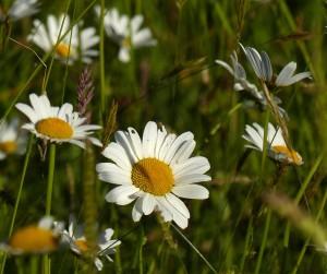 Dog daisies