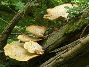 Fine fungi