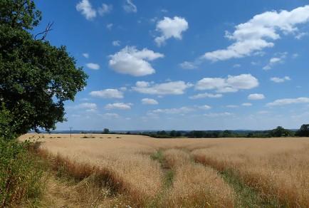 A ripening field...