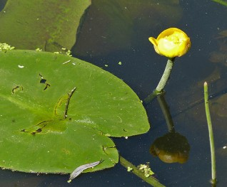 Water lily in the Tern