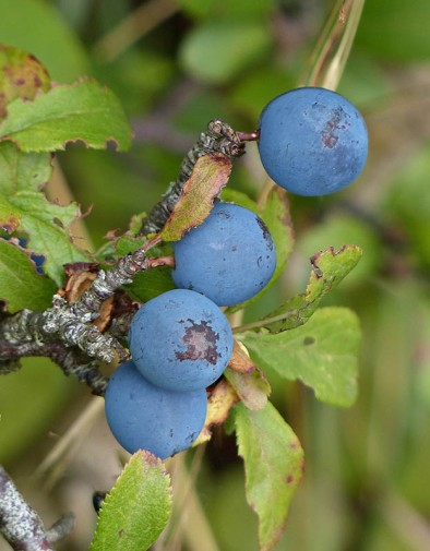 Blue sloes