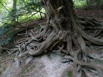 Roots of yew