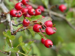 Red haws