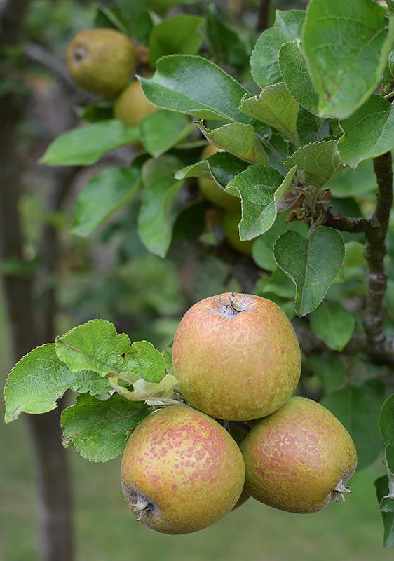 Soon be ripe...
