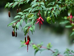 Fuchsia growing wild