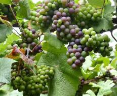 Fancy a grape?