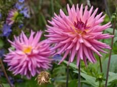... with dahlias ...