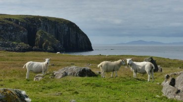Sheep in the far north