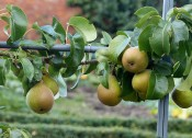 Pears galore...