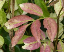Pink elder leaves