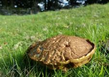 Lemon meringue pie toadstool
