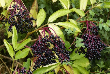 Elderberry wine anyone?