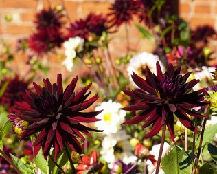 Dahlias in the walled garden