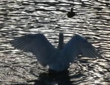 Swan - upping?