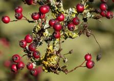 Haws and lichen