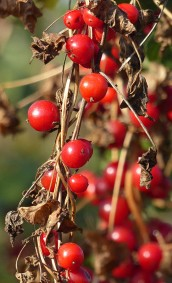 Red berries in the hedgerow
