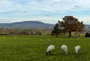 Sheep and the Wrekin