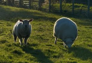 Sheep...