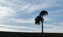 Wenlock pine